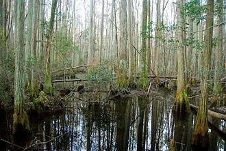 Palustrine wetland - Forested swamp in Osceola National Forest