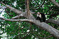 Flickr - ggallice - White fronted capuchin.jpg