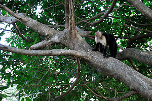 Santa Rosa National Park - White-headed capuchin monkey in a mangrove.