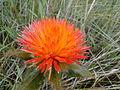Flor do Cerrado (Para-tudo).JPG