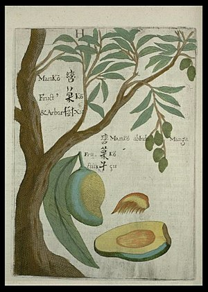 Mango - The mango illustrated by Michael Boym in the 1656 book Flora Sinensis.
