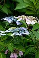 "Flower, Hydrangea ""Lilacina"" - Flickr - nekonomania.jpg"