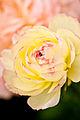 """Flower, Persian buttercup """"M-Beige"""" - Flickr - nekonomania.jpg"""