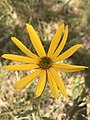 Flower (Asteraceae).jpg