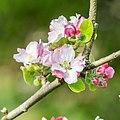Flowers of Malus domestica (23).jpg