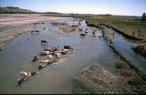 Northern Laclo River - Water buffalo in Northern Laclo River