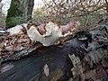 Fomitopsis betulina 106476319.jpg