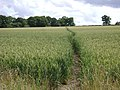 Footpath across a field of wheat - geograph.org.uk - 1403302.jpg