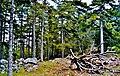 Forêt de Bavella.jpg