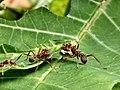 Formigas no Parque Ecológico do Tietê.jpg