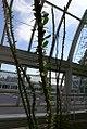 Fouquieria splendens 25zz.jpg