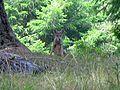 Fox at Point Reyes - Flickr - GregTheBusker.jpg
