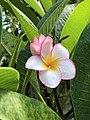 Frangipani Flower.jpg