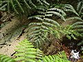Fraser Island - Wanggoolba Creek - panoramio.jpg