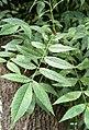 Fraxinus angustifolia. Fresnu de fueya estrencho.jpg
