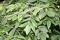 Fraxinus latifolia JPG1Fe.jpg