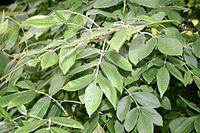 Fraxinus latifolia JPG1Fe