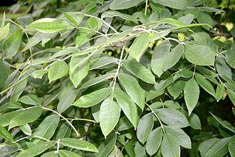 Fraxinus latifolia - Leaves of the Oregon ash