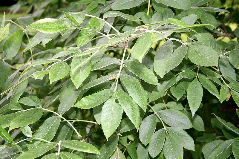 feuilles du frên de l'Oregon