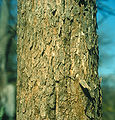 Fraxinus quadrangulata bark.jpg