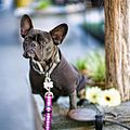 French bulldog nation (6947282619).jpg