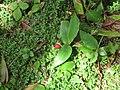 Fresas silvestres (6045563135).jpg