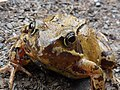 Frog on the track - geograph.org.uk - 1754266.jpg