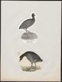 Fulica atra - 1700-1880 - Print - Iconographia Zoologica - Special Collections University of Amsterdam - UBA01 IZ17500223.tif