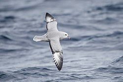Fulmarus glacialoides in flight - SE Tasmania.jpg