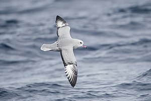 Southern fulmar - In flight