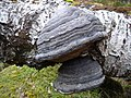 Fungus on birch - geograph.org.uk - 344361.jpg