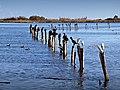 Furiani grands cormorans aigrettes garzettes étang.jpg