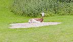 Gacela dama (Nanger dama), Tierpark Hellabrunn, Múnich, Alemania, 2012-06-17, DD 01.JPG