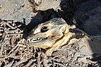 Galapagos land iguana skull.jpg