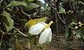 Gardenia gummifera 22.JPG