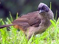Garrulax perspicillatus