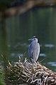 Garza Morena, Great Blue Heron, Ardea herodias (11915233193).jpg