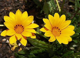 <i>Gazania rigens</i> A perennial plant in the daisy family from South Africa