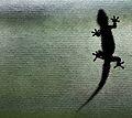 Gecko on My Window 2 (17729540).jpg