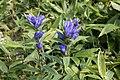 Gentiana triflora var. japonica subvar. montana 02.jpg