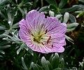 Geranium argenteum ENBLA02.jpeg
