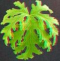 Geranium leaf anaglyph.jpg