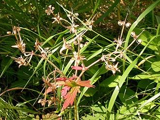 Плоды растения Geranium viscosissimum