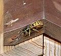 German Wasp. Vespula germanica (35796383964).jpg
