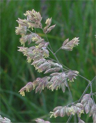 Holcus lanatus - Mature flowers