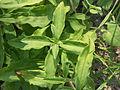 Gewöhnliches-Seifenkraut Blätter 6036.jpg