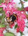 Gewone aardhommel koningin op Ribes sanguineum (Bombus terrestris) 3.jpg