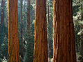 Giant sequoia in Redwood Canyon in Sequoia National Park.jpg