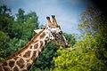 Giraffe (128848433).jpeg