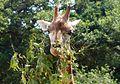 Giraffe (13945322811).jpg